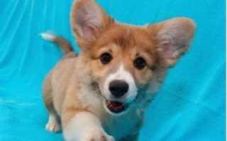 Небольшие жесткошерстные породы собак, подходящие для квартиры.