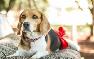 Деформирующий спондилез у собак – симптомы и лечение
