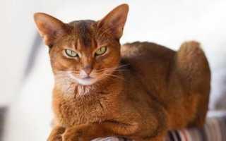Все окрасы абиссинских кошек: фото кошек и котят с описанием.