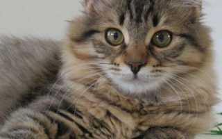 Имена для сибирских котов и кошек, клички для котенка мальчика и девочки