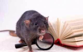 Содержание и уход за крысой как домашним питомцем
