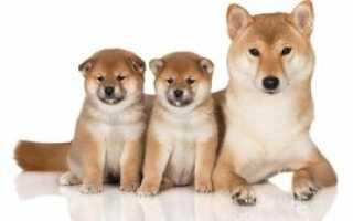 Японские клички для собак, красивые имена для щенков мальчиков и девочек.