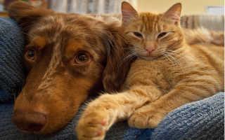 Породы кошек, которые любят и уживаются с собаками – какие кошки ладят с собаками?
