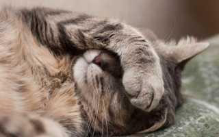 Метеоризм и газы у кошки. Почему кошка пукает? Что делать, если кошка часто пускает газы?