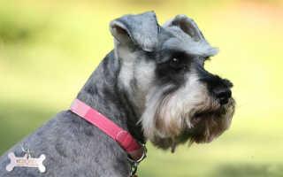 Как назвать Цвергшнауцера – клички и имена для собак мальчиков и девочек.