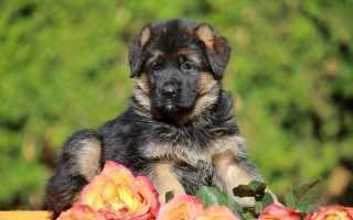 Имена и клички немецких овчарок девочек. Как назвать щенка немецкую овчарку девочку?