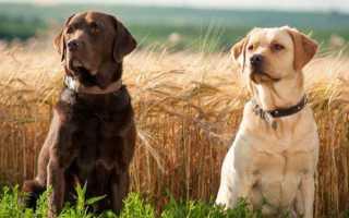 Как назвать лабрадора? Список кличек и имен для собак и щенков породы лабрадор.