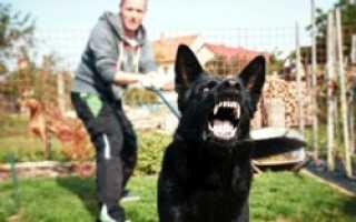 Агрессивны ли шарпеи? Особенности социализации и характера собаки.