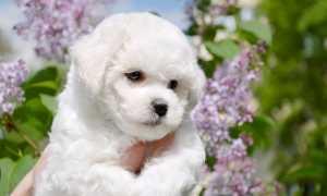 Гипоаллергенные (неаллергенные) породы собак – факт или вымысел?