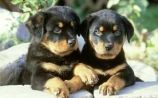 Фото щенков ротвейлера с рождения до года — вес и рост по месяцам.