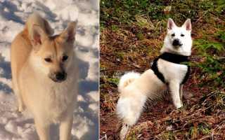 Скандинавские породы – норвежские, шведские, датские и финские породы собак с фото и названиями.