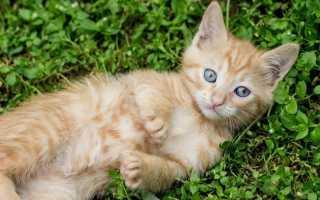 Маленькие породы кошек с фотографиями и названиями – самые маленькие домашние кошки.