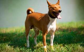 Собака басенджи: фото, описание породы, цена, характер, видео, питомники.