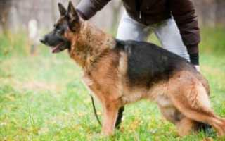 Воспитание немецкой овчарки – советы и коррекция поведения, плохих привычек.