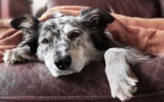 Анемия у собак – симптомы, причины и лечение. Диагностика и прогнозы при анемии.