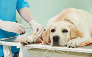 Лимфома у собак: симптомы, лечение и причины рака