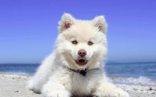 Развитие щенка с 12-й недели и до взрослой жизни