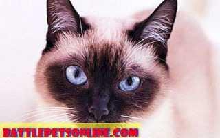 Интересные факты о сиамских кошках и котятах