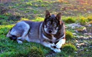 Собака похожая на волка – фото пород с названиями, собака скрещенная с волком.
