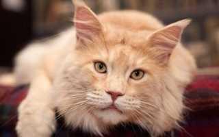 Сколько лет живут кошки Мейн-кун в домашних условиях – продолжительность жизни породы.- PetsTime.ru