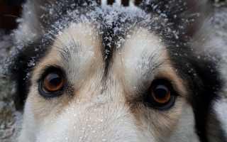 Перхоть у собаки – причины и методы избавления. Что делать и как избавиться от перхоти у собаки дома?