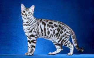 Бенгальская кошка, бенгал – фото, описание породы и характера, видео, питомники, цена.