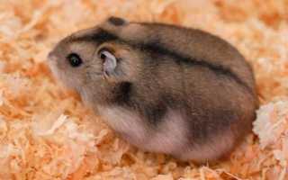 Джунгарский хомяк (джунгарик) – фото и описание сибирского хомячка, видео.