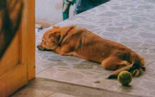 Лямблиоз у собак, клинические симптомы, диагностика и лечение