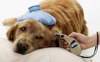 Сахарный диабет у собак, сиптомы болезни, диагностика и лечение