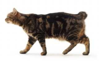 Кошка без хвоста – порода Мэнкс, мэнская кошка – фото и характер бесхвостой кошки.