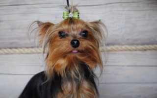 Клички и имена для собак девочек йорков – красивые и ласковые, как назвать йорка девочку.