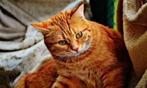 Имена и клички для рыжих котов и котят мальчиков рыжего цвета.