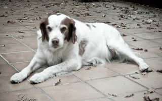 Кормление старой собаки. Чем кормить старую собаку?