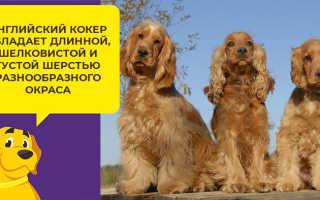 Фото щенков английского кокер-спаниеля с 1 месяца до года — вес и рост по месяцам.