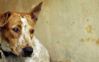 Чумка у собак – симптомы и лечение заболевания. Диагностика и профилактика чумки.