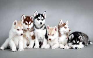 Фото щенков хаски с 1 по 12 месяц — вес и рост по месяцам.