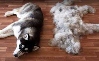Сильная линька у собак – причины и симптомы. Линька у собак осенью – периоды, сезонная и осенняя.