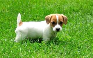 Как назвать собаку Джек-рассел-терьера – имена и клички для щенков мальчиков и девочек.