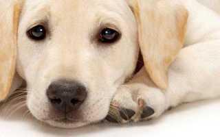 Судороги и приступы эпилепсии у собак – симптомы, причины и лечение