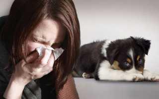Лучшие породы собак для аллергиков и астматиков. Какую собаку можно аллергикам?