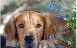 Кесарево сечение у собак. Что делать, если собака не может родить, возможные проблемы при родах.