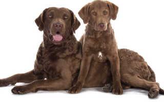 Чесапик бей ретривер – фото, характер и описание породы. Фото, видео и цена собак чесапик бей ретриверов.