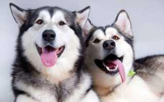 Имена и клички для собаки мальчика хаски – список красивых имен для собак мальчиков породы хаски.
