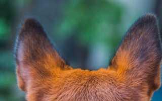 Породы собак с длинными большими и висячими ушами – фото вислоухих, ушастых собак.