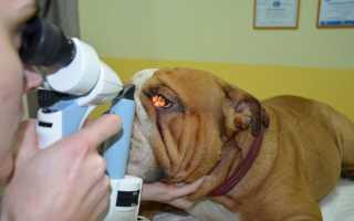 Выпадение (пролапс) третьего века у собак – симптомы и лечение