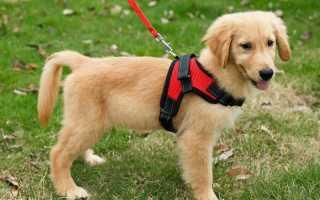Ошейник, упряжка, поводок – что необходимо вашей собаке?
