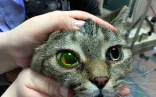 Язва роговицы у кошек – симптомы, диагностика и лечение